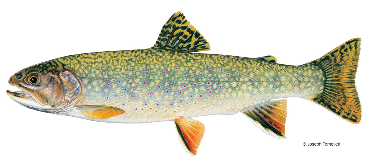 Fish digest for Vermont trout fishing